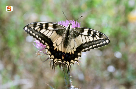 Papilio machaon [480x313]