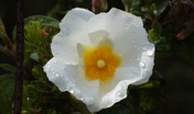 Cisto femmina - Cistus salvifolius  